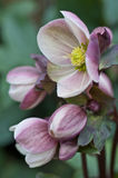 Hellebore close up Stock Photos