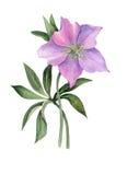 Hellebore cor-de-rosa no fundo branco Fotografia de Stock