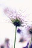 Hellebore de fleur Image libre de droits