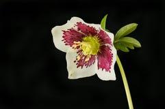Hellebore flower against black. Single hellebore flower isolated against black stock photo