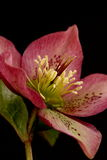 Hellebore flower Royalty Free Stock Photo
