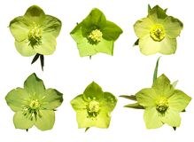 Hellebore flower blossoms in isolated background
