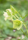 Hellebore flower in the blurry background Stock Photography