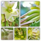 Hellebore flower parts macro collage. Collage of hellebore flower parts in macro stock images