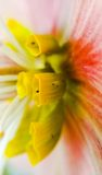 Hellebore flower parts in macro. Macro of hellebore flower nectaries stock image