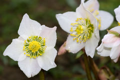 Hellebore flowers Stock Photos