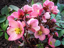 Hellebore flowers in bloom in early spring Stock Photo