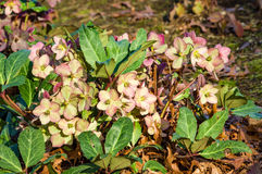Hellebore flowers blooming pink in garden Royalty Free Stock Image
