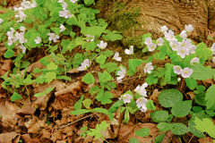 Hellebore flowers blossomed in the spring forest near the tree b Royalty Free Stock Photography