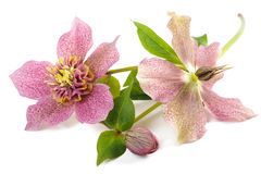 Hellebore Royalty Free Stock Photography