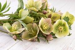 Hellebore flowers or Christmas Rose (Helleborus orientalis).  royalty free stock photo