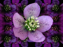Hellebore (heleborus niger). Flower of the hellebore, also known as heleborus niger and Lenten rose Stock Photo