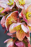 Hellebore (helleborus purpurascens) στοκ φωτογραφία