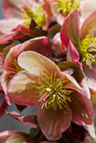 Hellebore (helleborus purpurascens) Stock Images