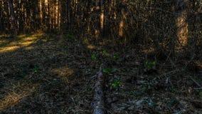 Hellebore i skogen Royaltyfri Foto