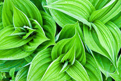 Hellebore Lobel. The background of green leaves poisonous hellebore plants Royalty Free Stock Photos