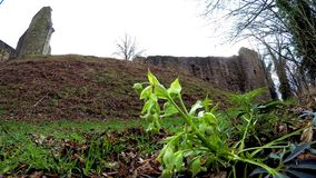 Hellebore, medieval medicinal plant with flower in spring in Germany. Background old castle stock video footage