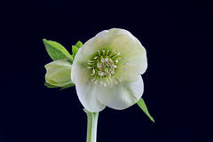 Hellebore Royalty Free Stock Images