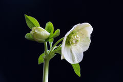 Hellebore Royalty Free Stock Image