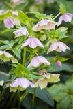 Hellebore pink flowers, Helleborous atrorubens, Royalty Free Stock Photography