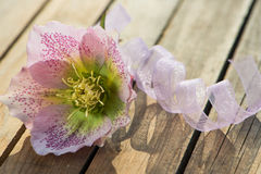 Hellebore Stock Photography