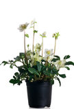 Hellebore in pot Royalty Free Stock Photography