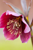 Hellebore (purpurascens del Helleborus) Fotos de archivo libres de regalías