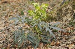 Hellebore que apesta - foetidus del Helleborus Fotografía de archivo libre de regalías