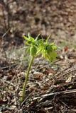 Hellebore salvaje en primavera Fotografía de archivo