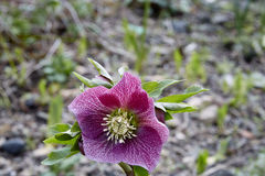 Hellebore Royalty Free Stock Photo