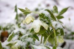 Hellebore sous la neige, journée de printemps, plan rapproché images libres de droits