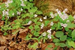 Helleboreblumen blühten im Frühjahr Wald nahe dem Baum b stockbild