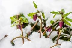 Helleboreblumen, die im Winter blühen stockbilder