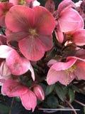 Helleborehelleboruspurpurascens Royaltyfri Fotografi