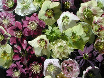 Hellebores Stock Photography