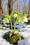 Hellebores Photographie stock