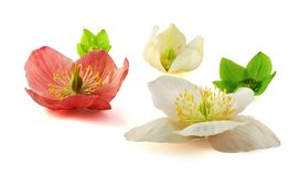 Hellebores. Blossoms with clipping path Royalty Free Stock Images