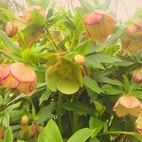 Hellebores Royalty Free Stock Photography