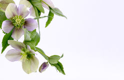 Hellebores Royalty Free Stock Image