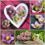 Hellebores collage Royalty Free Stock Image