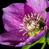 Hellebores Detail Royalty Free Stock Photography