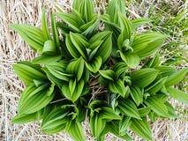 Hellebores falsos (sp do Veratrum), em prados da montanha Fotografia de Stock Royalty Free