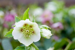 Hellebores flower Royalty Free Stock Photo