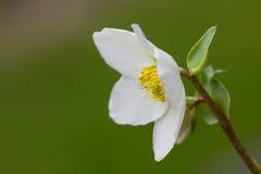 Hellebores flower (helleborus orientalis) or christmas rose Stock Photo