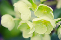 Hellebores (helleborus argutifolius) in flower. springtime. Cross processed Royalty Free Stock Photography
