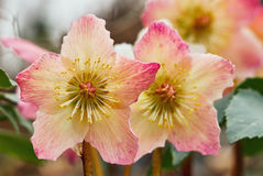 Hellebores multicolored Royalty Free Stock Images