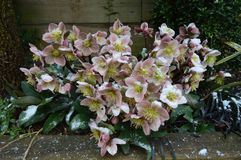 Helleborus in snow. Hellebores in the snow, late spring, UK stock photo