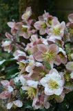 Helleborus in snow. Hellebores in the snow, late spring, UK royalty free stock photo