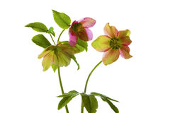 Hellebores on white Royalty Free Stock Photography