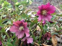 Helleboreväxt som blomstrar i vår på Central Park Royaltyfria Foton